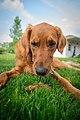 A dog - 9028554949.jpg