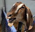 A goat at Colgate West Sussex England 01.JPG