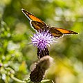 A thirst for thistle -) (35752573133).jpg