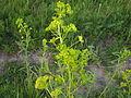 Ab plant 413.jpg