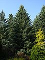 Abies concolor PAN.jpg