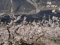 Abricotiers en fleurs - panoramio (1).jpg