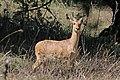 Abyssinian bohor reedbuck (Redunca redunca bohor) male.jpg