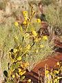 Acacia melleodora flower.jpg