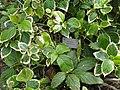 Acalypha wilkesiana - Copenhagen Botanical Garden - DSC07429.JPG