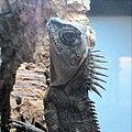 Acanthosaura sp.jpg
