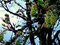 Acer macrophyllum flowers Olympia WA.jpg