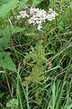 Achillea millefolium 03900.jpg