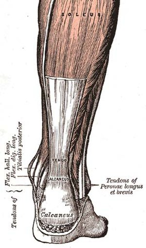 Tendon - The Achilles tendon, one of the tendons in the human body.