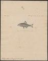 Achilognathus melanogaster - 1856-1859 - Print - Iconographia Zoologica - Special Collections University of Amsterdam - UBA01 IZ15000112.tif