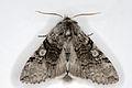 Achlya flavicornis01, Lodz(Poland)(js).jpg