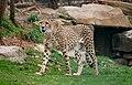 Acinonyx jubatus -Cleveland Metroparks Zoo, Ohio, USA-8a.jpg