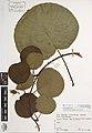 Actinidia chinensis chinensis Planch. (AM AK272631-1).jpg