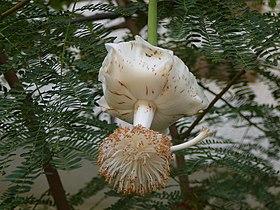 Adansonia digitata 0016.jpg