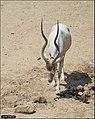 Addax-Jerusalem-Biblical-Zoo-IZE-516.jpg