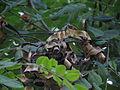 Adenanthera pavonina 02.JPG