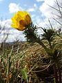 Adonis vernalis sl29.jpg