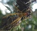 Adult male Metellina mengei. Tetragnathidae (34678408236).jpg
