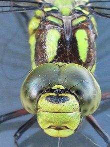 Dragonfly - Wikipedia