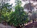 Aesculus hippocastanum - Montes de Málaga 02.JPG
