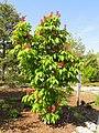 Aesculus pavia - United States Botanic Garden - DSC09462.JPG