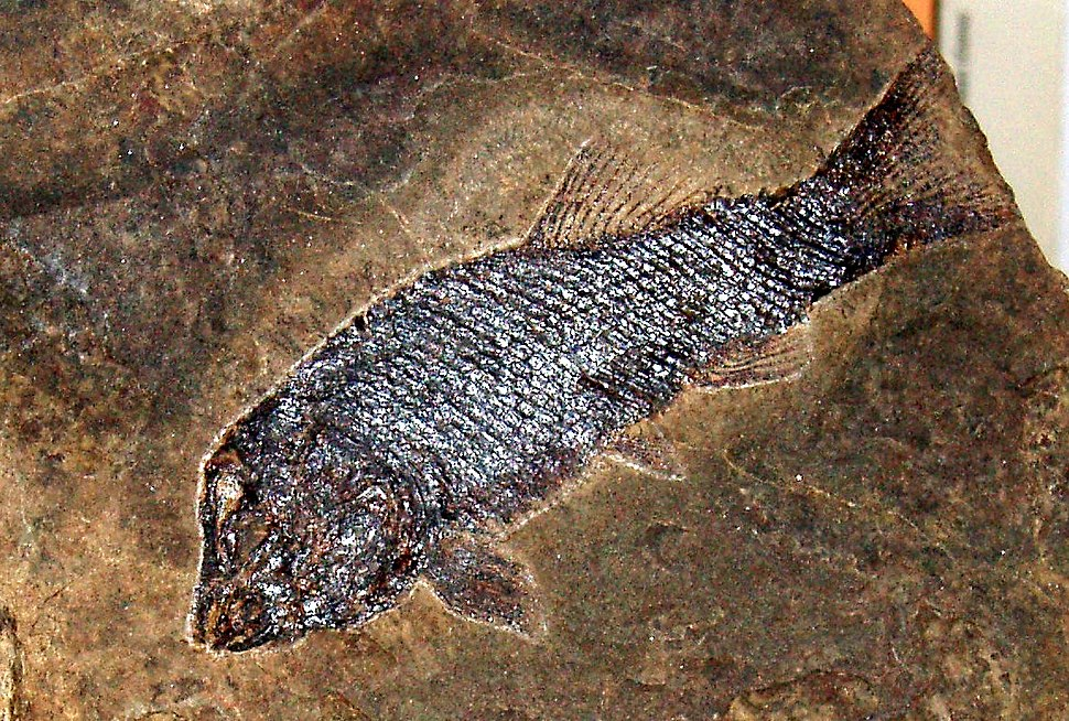 Aetheodontus besanensis