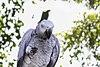 African-Grey-Parrot.jpg
