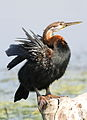 African Darter, Anhinga rufa at Marievale Nature Reserve, Gauteng, South Africa (20995155630).jpg