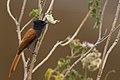 African Paradise Flycatcher.jpg