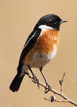 African Stonechat, Saxicola torquatus -- male -- at Rietvlei Nature Reserve, South Africa (14570102719).jpg