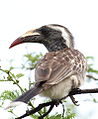 African grey hornbill, Tockus nasutus - female - at Pilanesberg National Park, Northwest Province, South Africa (16036250320).jpg