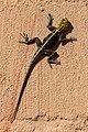 Agama roqueño de Namibia (Agama planiceps), parque nacional de Namib-Naukluft, Namibia, 2018-08-05, DD 82.jpg