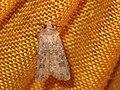 Agrotis segetum - Turnip moth - Совка озимая (41079135741).jpg