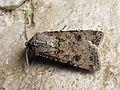 Agrotis segetum - Turnip moth - Совка озимая (44442091672).jpg