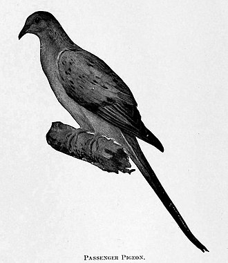 Northern Michigan - Passenger pigeons were hunted to extinction sometime after the 1870s, with the last large nesting in Petoskey, Michigan, in 1878.