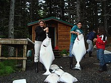 Photo of several, near human-sized white fish. Two people hold halibuts.