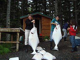 Photo of several, near human-sized white fish. شخصان يحملان الهلبوت