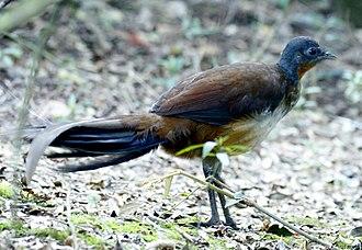 Albert's lyrebird - O'Reilly's Lodge - Australia