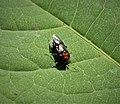 Alder Sawfly Eriocampa ovata (39367147981).jpg