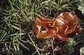 Aleuria aurantia. Orange peel near Risca. 26 11 63 (30719844900).jpg