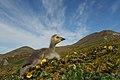 Aleutian Cackling Goose (36502882133).jpg