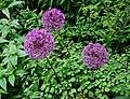 Allium (sierui).jpg