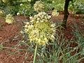 Allium obliquum 2020-06-23 0633.jpg