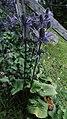 Alpen-Mannstreu (Eryngium alpinum).jpg