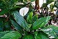 Alpinia formosana - Marie Selby Botanical Gardens - Sarasota, Florida - DSC01206.jpg