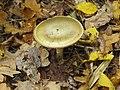 Amanita phalloides Kiev2.jpg