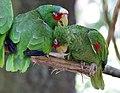 Amazona albifrons - Tiergarten Schönbrunn 3.jpg