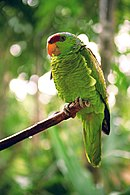 A green parrot with a red forehead and grey eye-spots