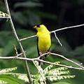 American Goldfinch (14498617199).jpg