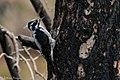 American Three-toed Woodpecker Signal Burn Gila NF NM 2017-10-18 09-01-45 (39043035032).jpg